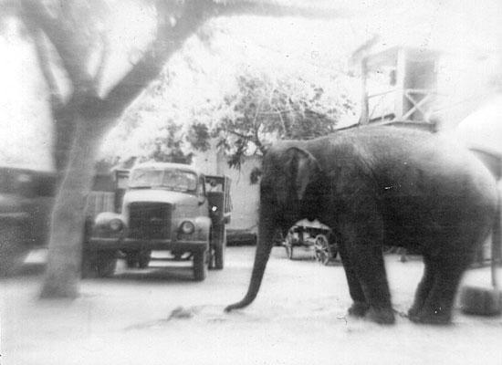 В начале 20-го века слониху Мэри публично казнили за убийство
