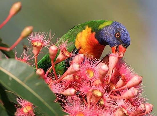 В Австралии есть город падающих попугаев