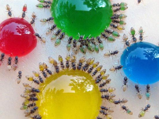С помощью сладостей муравьёв-призраков можно раскрасить в разные цвета