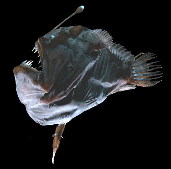 Глубоководный морской чёрт — одно из самых уродливых животных на планете