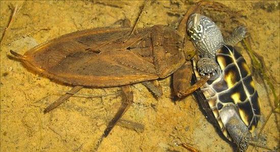 Гигантские водяные клопы питаются черепахами