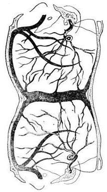 Явление рождения человека с двумя головами называется паразитической краниопагией