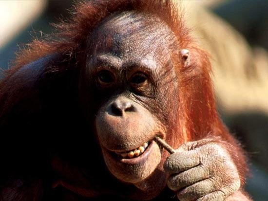 Американские учёные: во многом сексуальность мужчины зависит от его схожести с обезьяной