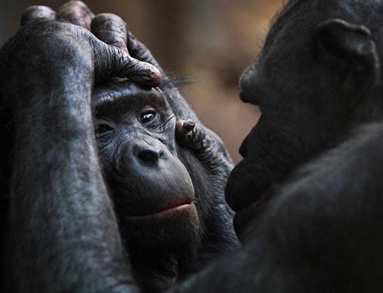 Эксперимент с обезьянами: формирование общества