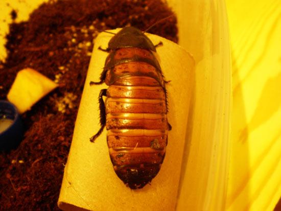 Самый большой таракан в мире имеет длину тела 8 см и весит 30 грамм