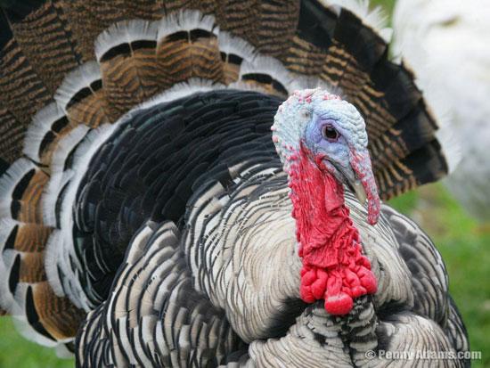 Индюк будет пытаться спариться с самкой, даже если у неё не будет крыльев, ног и перьев