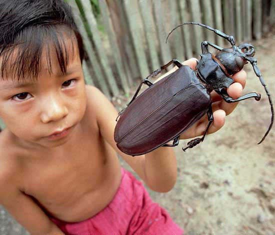 Самый большой жук в мире имеет размер хомяка