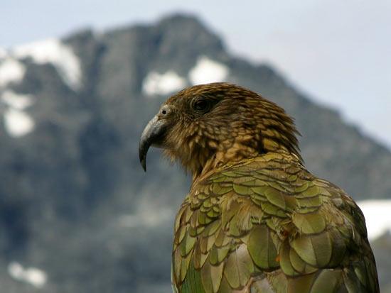 Кеа — это хищные попугаи, которые охотятся на овец