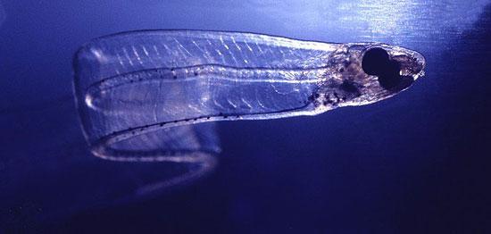Лептоцефалы — это угри, которые вырастают и размножаются, оставаясь личинками
