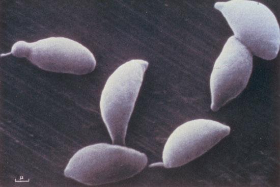 Учёные утверждают, что самцы обязаны своим существованием паразитам