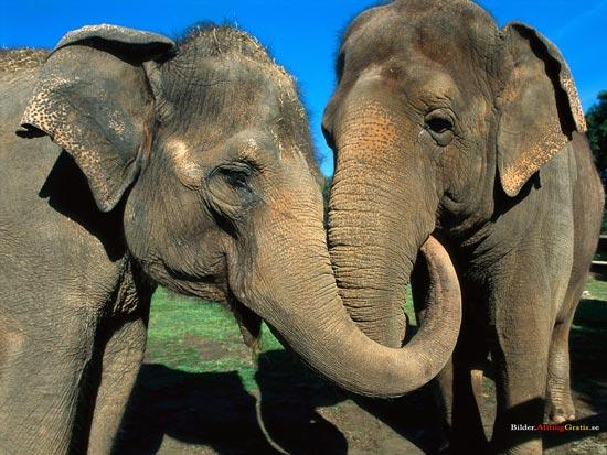 Слоны заводят много друзей и сохраняют с ними продолжительные отношения