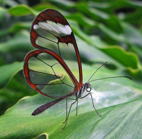 В Амазонке и Южной Америке водится прозрачная бабочка