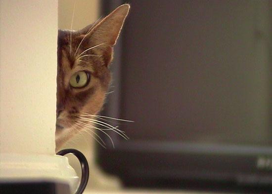 ЦРУ пыталось использовать кошек в качестве шпионов в Советском Союзе