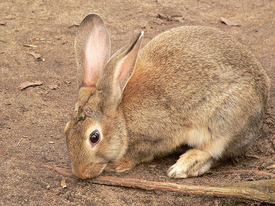 Обычный европейский кролик — одно из самых опасных существ для природы