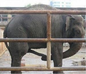 Слоны используют свой хобот для мастурбации