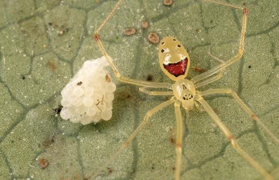 Окрас пауков вида Theridion grallator похож на человеческое лицо