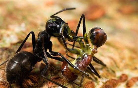 На острове Борнео водятся муравьи-камикадзе