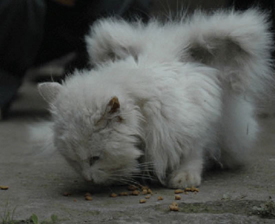 Картинки по запросу В Китае живёт кот с крыльями