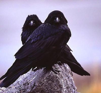 Ворон и ворона — это не самец и самка одной птицы, а два разных вида