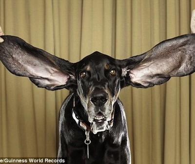 Длина ушей самого длинноухого пса в мире — более 30 см