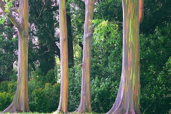 Существует радужное дерево