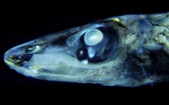 В каждой глазнице батилихнопса расположено по 2 глазных яблока