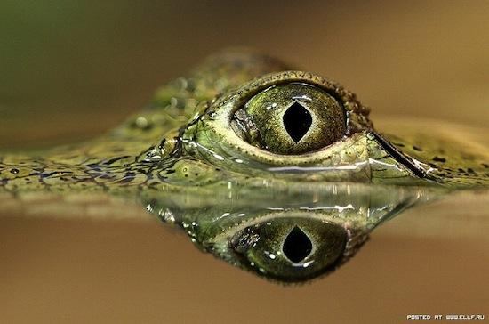 «Крокодиловы слёзы» действительно существуют: крокодил «плачет», поедая добычу