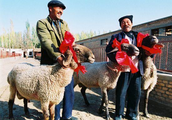 Длинноухие и кривоносые китайские овцы стоят $2 000 000