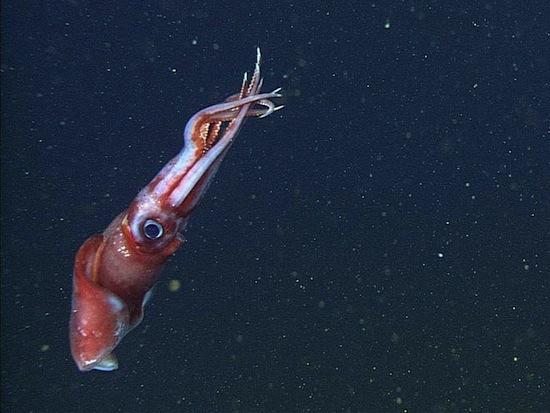 Глубоководные кальмары бисексуальны и ведут беспорядочную половую жизнь