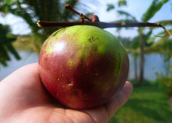 Хризофиллум (звездное яблоко)