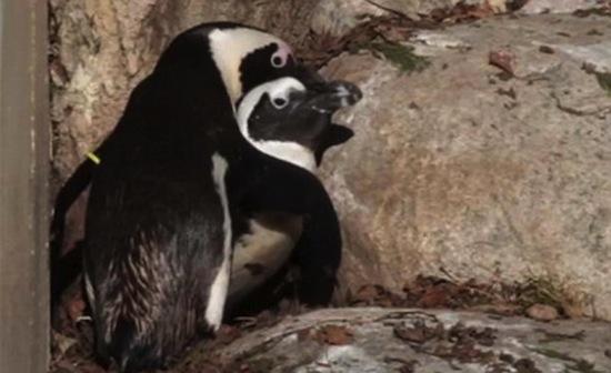 В Канадском зоопарке живёт гомосексуальная пара пингвинов