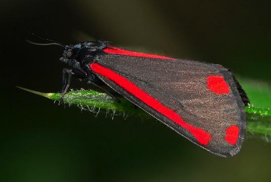 Существуют бабочки-вампиры