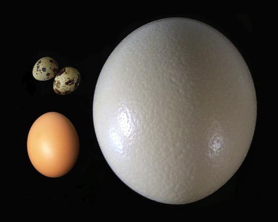Страус откладывает одновременно самые большие и самые маленькие яйца среди птиц