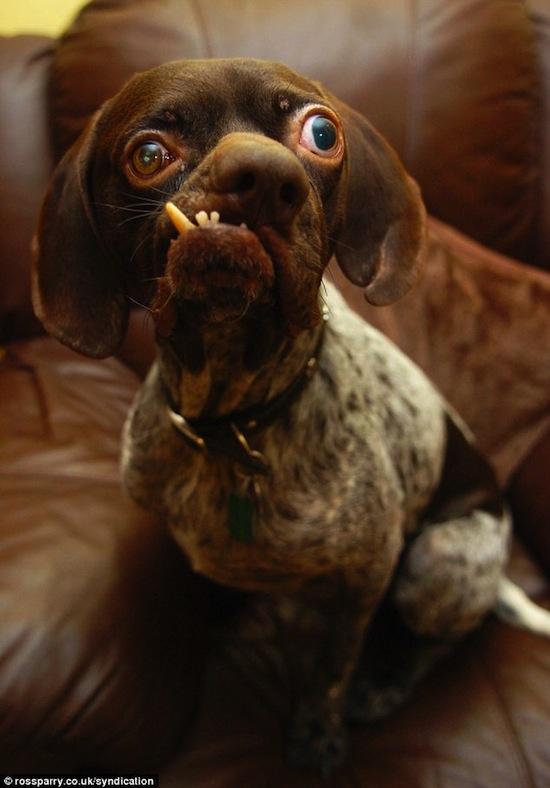 Ага — самая уродливая собака в Великобритании