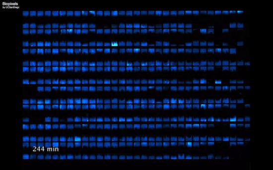 Существует жидкокристаллический дисплей из кишечных палочек