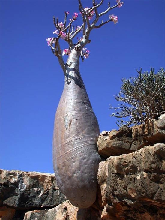 На острове Сокотра растут удивительные деревья