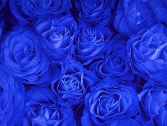 Синие розы существуют