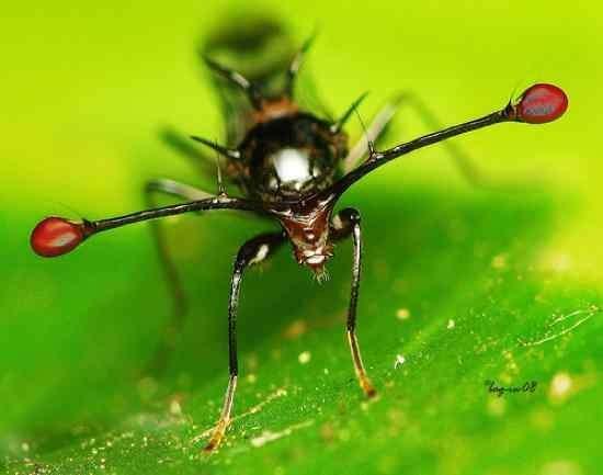 Существует муха с глазами на длинных стеблях