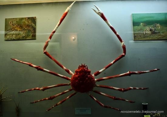 Длина ног японского краба-паука — 4 метра в размахе