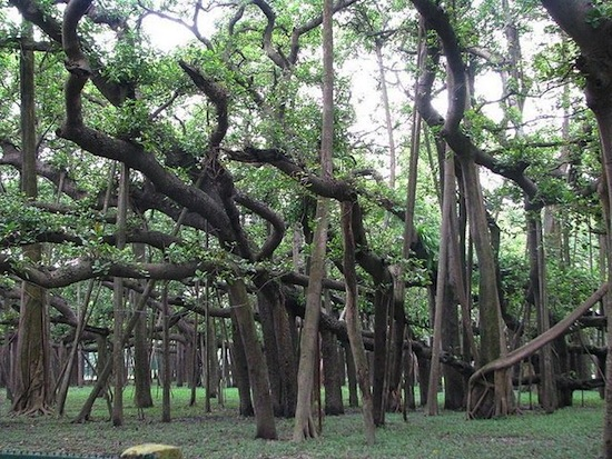 Великий баньян — это дерево со множеством стволов и самой большой кроной в мире