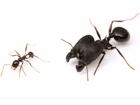 Существуют супер-муравьи с огромными головами
