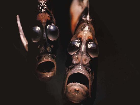 Рыба-топор выглядит очень странно