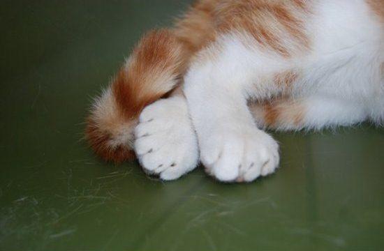В американском приюте живёт кот с 26-ю пальцами