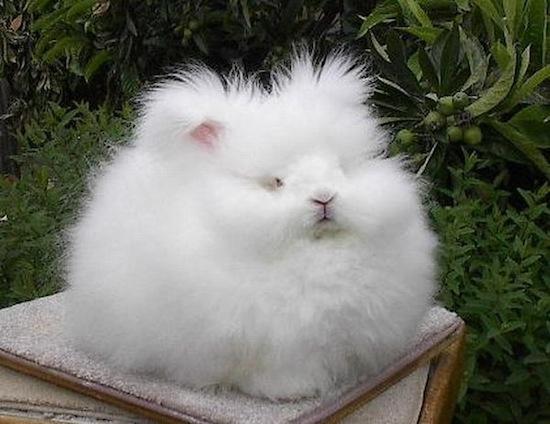 Ангорский кролик — самый пушистый кролик в мире
