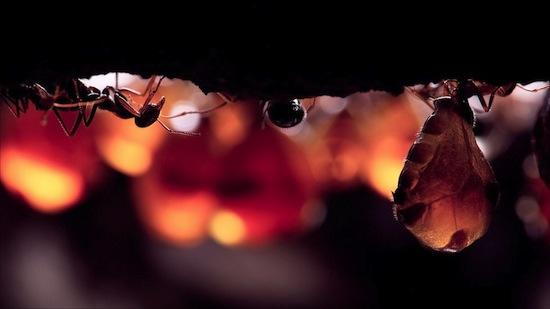Существуют муравьи-конфеты
