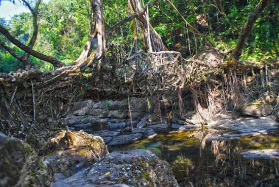 В Индии выращивают живые мосты