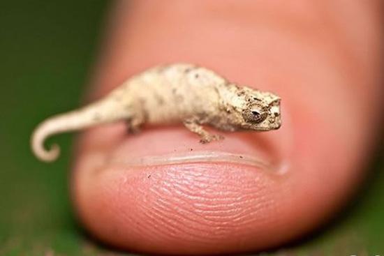Самый маленький хамелеон в мире имеет длину всего 3 см