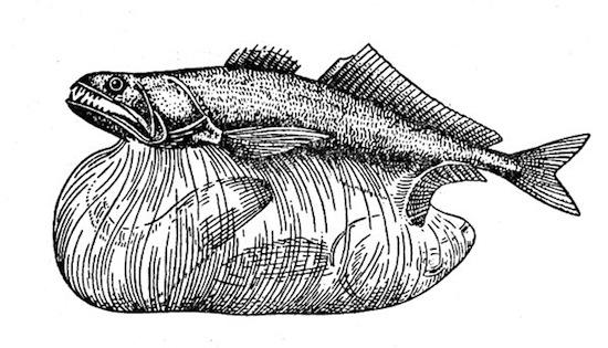 Чёрный живоглот способен проглотить пищу, в 3 раза превышающую размер желудка