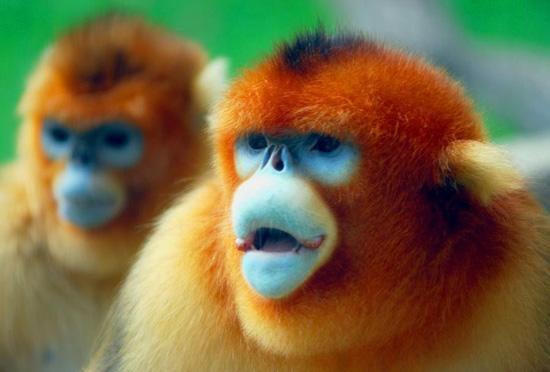 Бирманская курносая обезьяна всегда чихает во время дождя