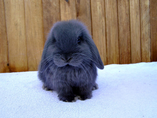Существуют голубые кролики